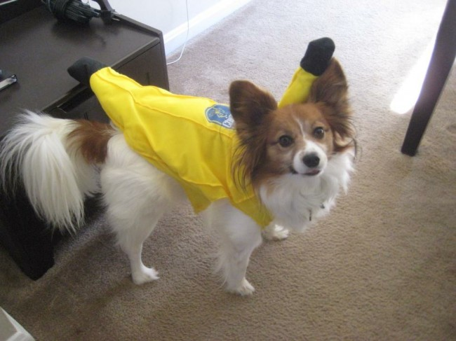 Bailey's favorite food is bananas. So Amy made him a banana costume for Halloween!