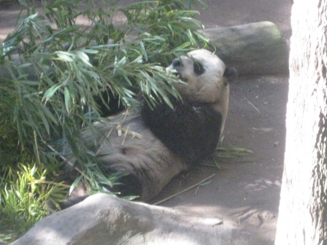 At the San Diego Zoo. This Giant Panda was just too cute.